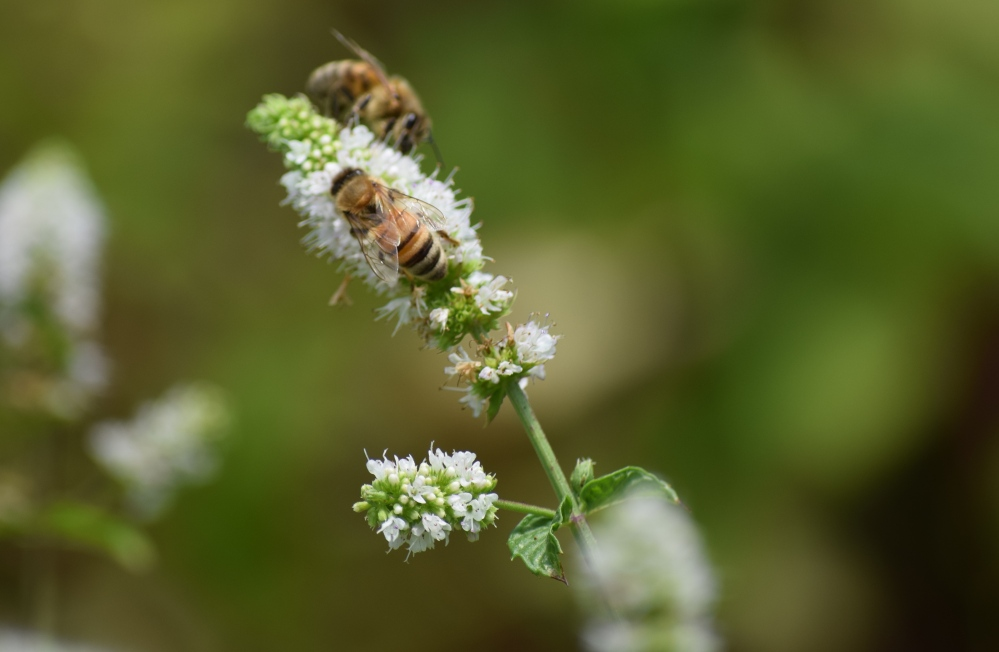 Bees-Mint